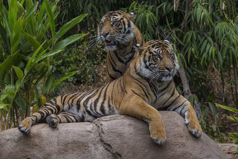Sumatran Tiger Full Hd