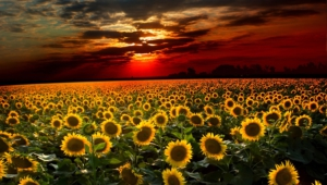 Sunflower Computer Backgrounds