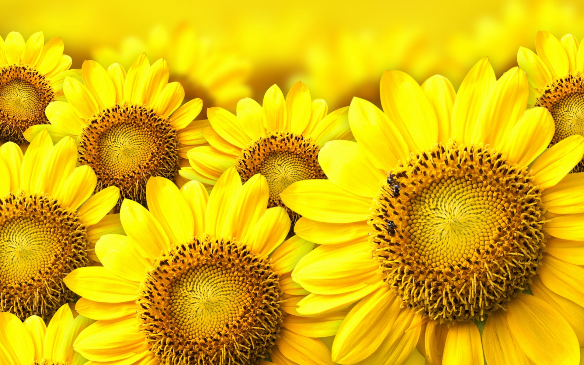 Sunflower Desktop