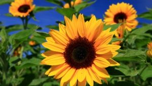 Sunflower Hd Desktop