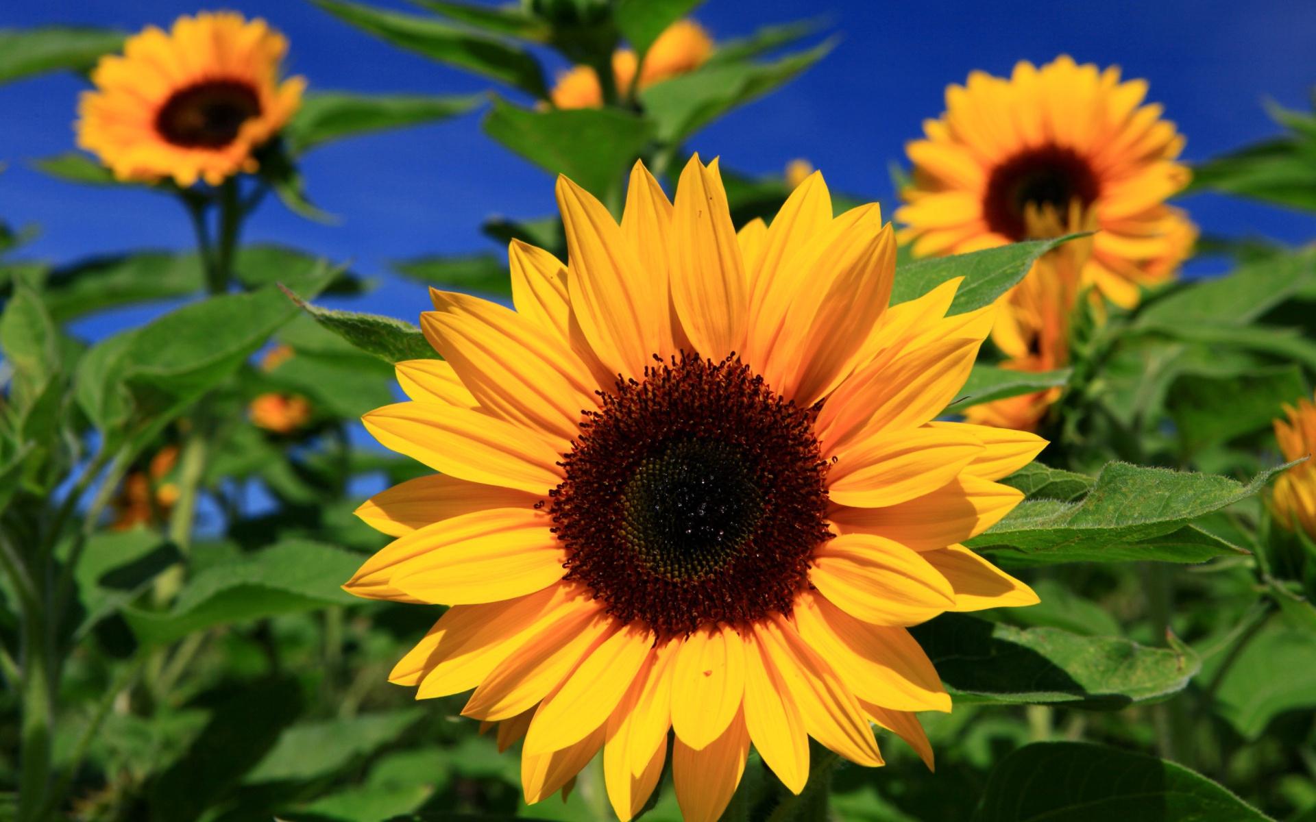 Sunflower Hd Desktop
