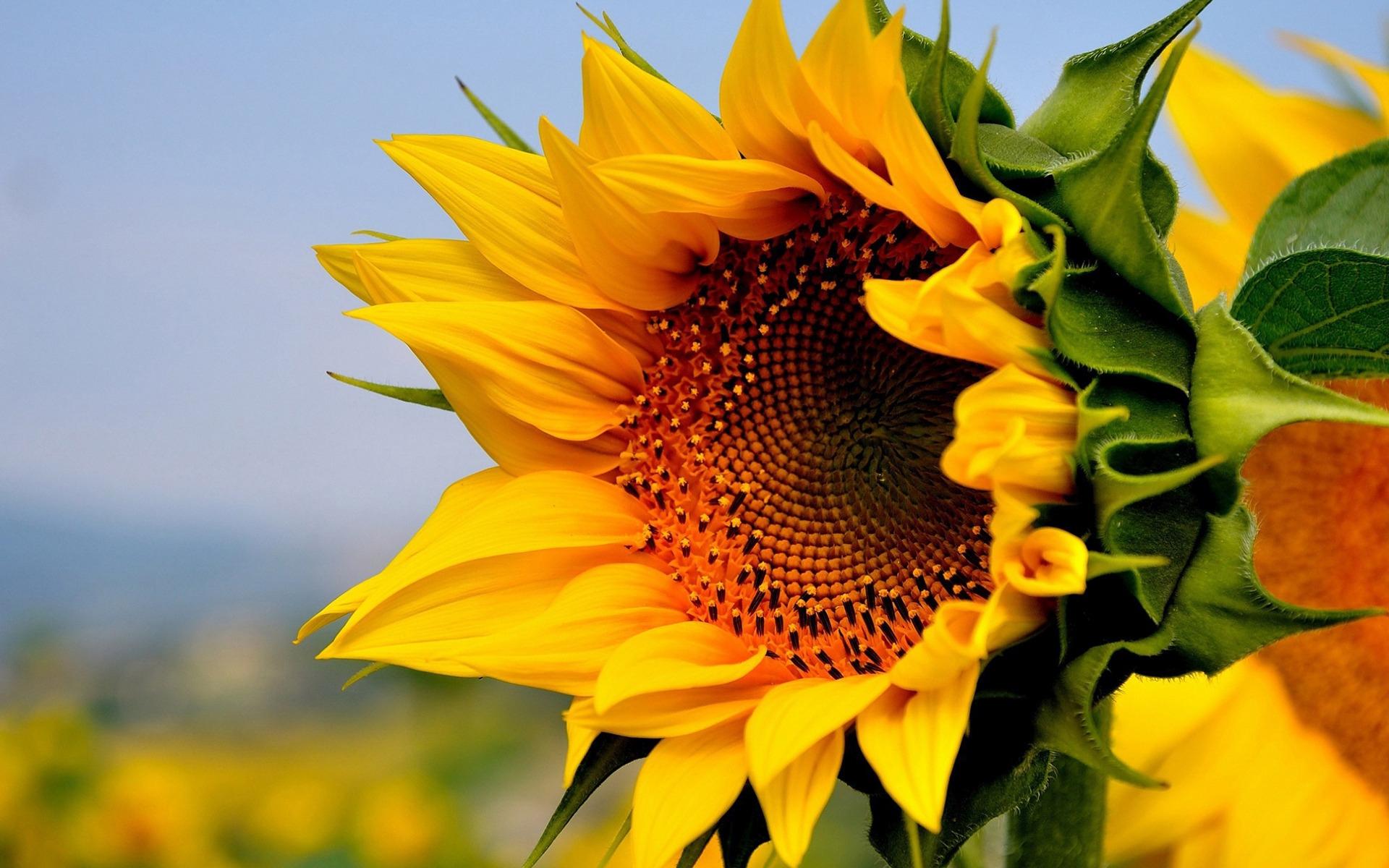 Sunflower High Definition Wallpapers