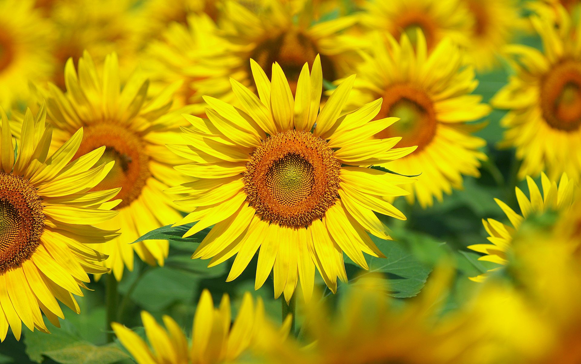 Sunflower Images