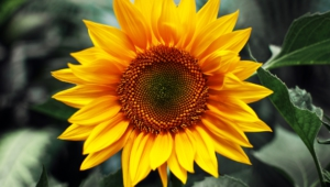 Sunflower Widescreen