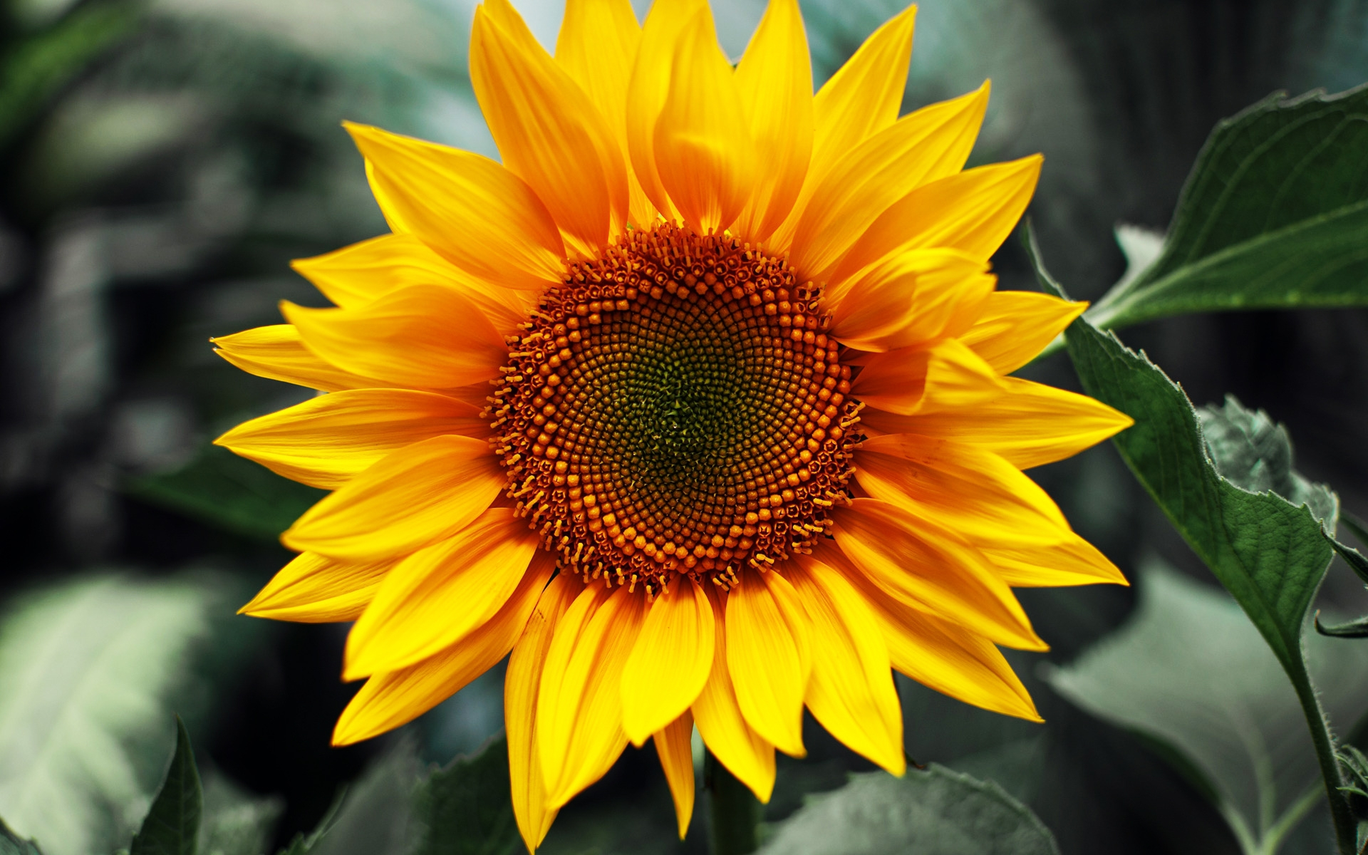 Sunflower Widescreen