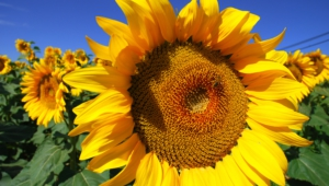 Sunflower Full Hd