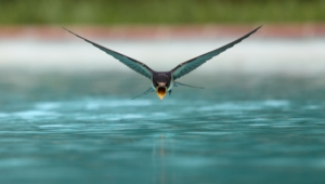 Swallow 4k