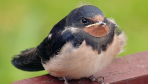 Swallow Images