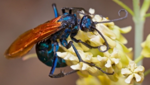 Tarantula Hawk Hd