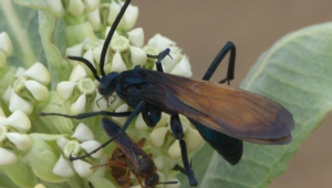 Tarantula Hawk Hd Background