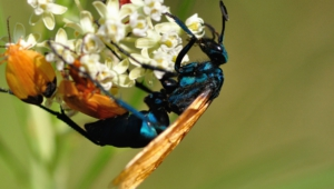Tarantula Hawk Hd Desktop