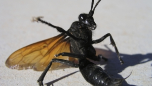 Tarantula Hawk High Quality Wallpapers