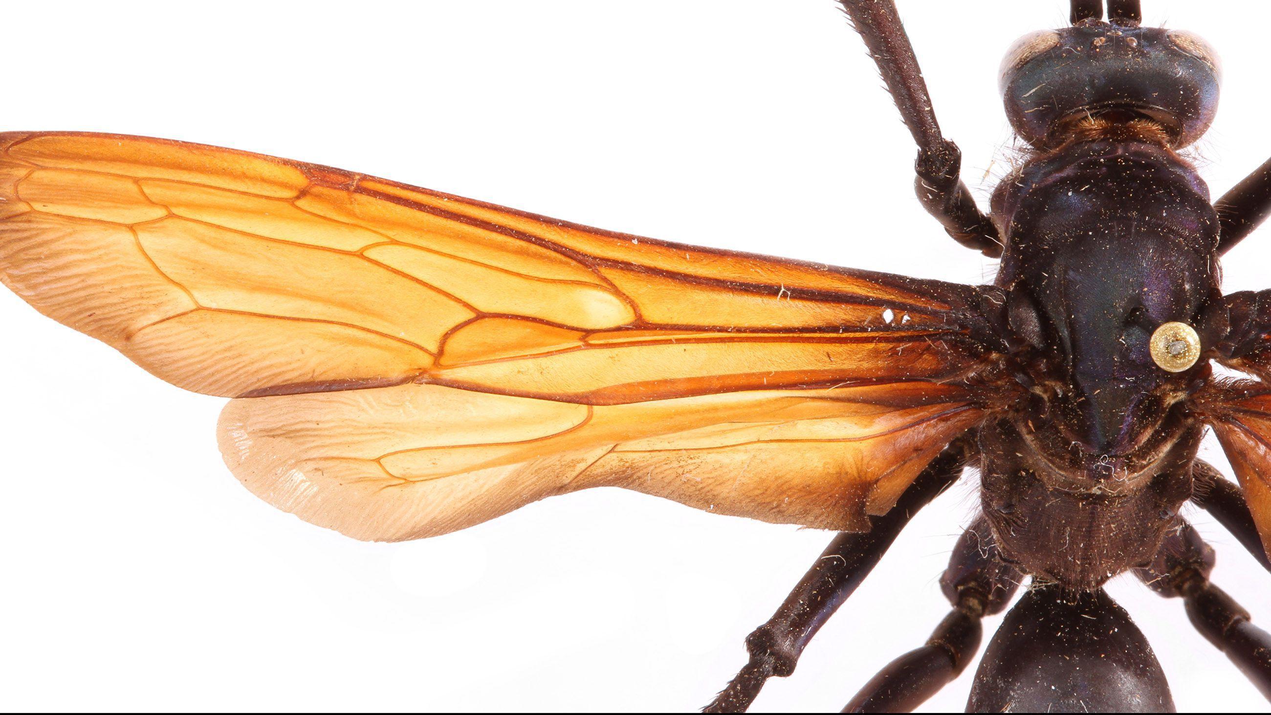 Tarantula Hawk Wallpapers Hd