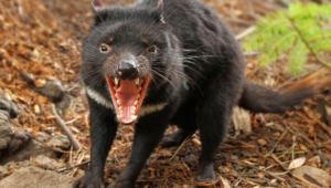 Tasmanian Devil Desktop