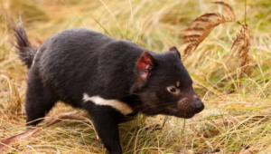 Tasmanian Devil Hd Wallpaper