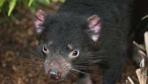 Tasmanian Devil High Definition