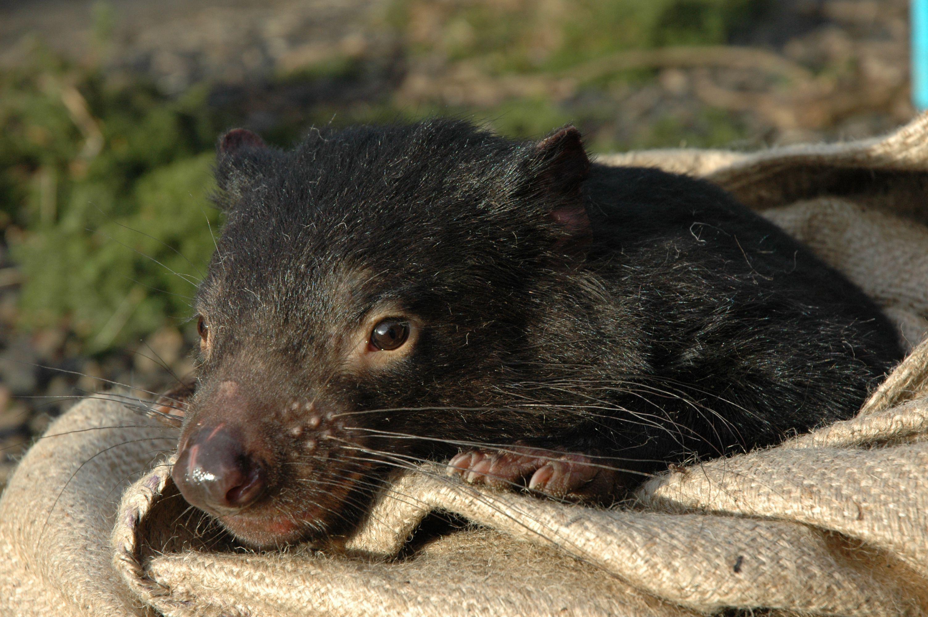 Tasmanian Devil Photos