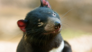 Tasmanian Devil Wallpapers Hq