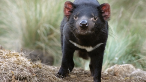 Tasmanian Devil Wallpapers And Backgrounds