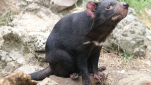 Tasmanian Devil Widescreen