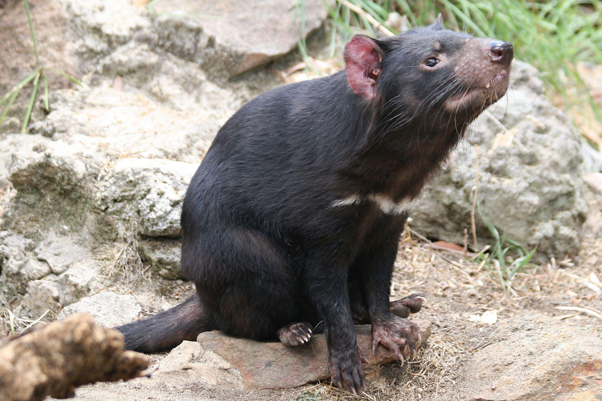 Tasmanian Devil Widescreen