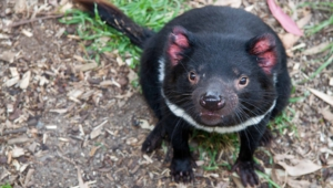 Tasmanian Devil For Desktop