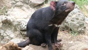 Tasmanian Devil Full Hd