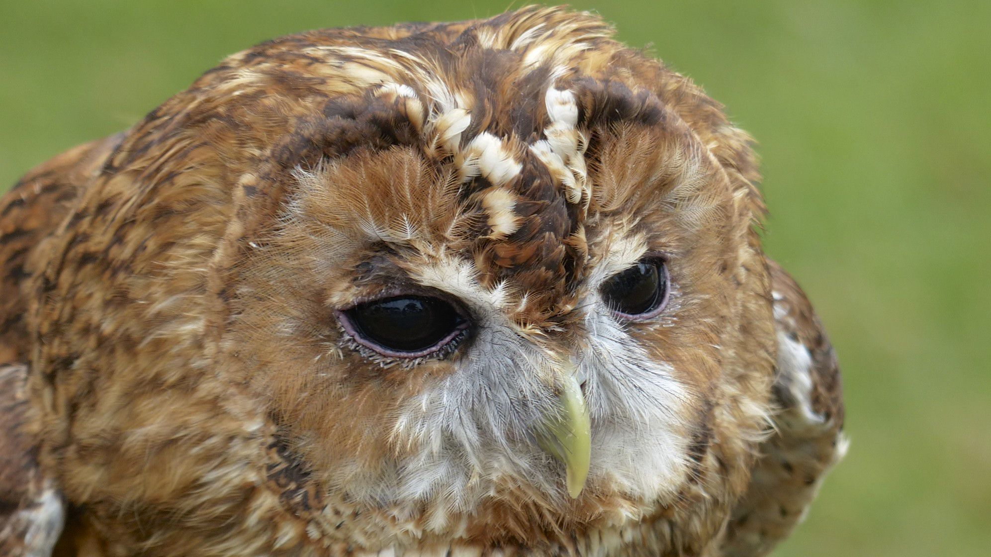 Tawny Owl 4k