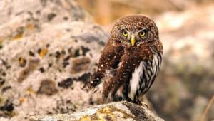 Tawny Owl Background