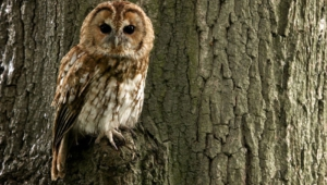 Tawny Owl Hd Background