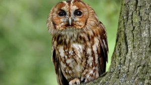 Tawny Owl Hd Desktop