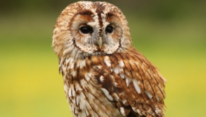 Tawny Owl Hd Wallpaper