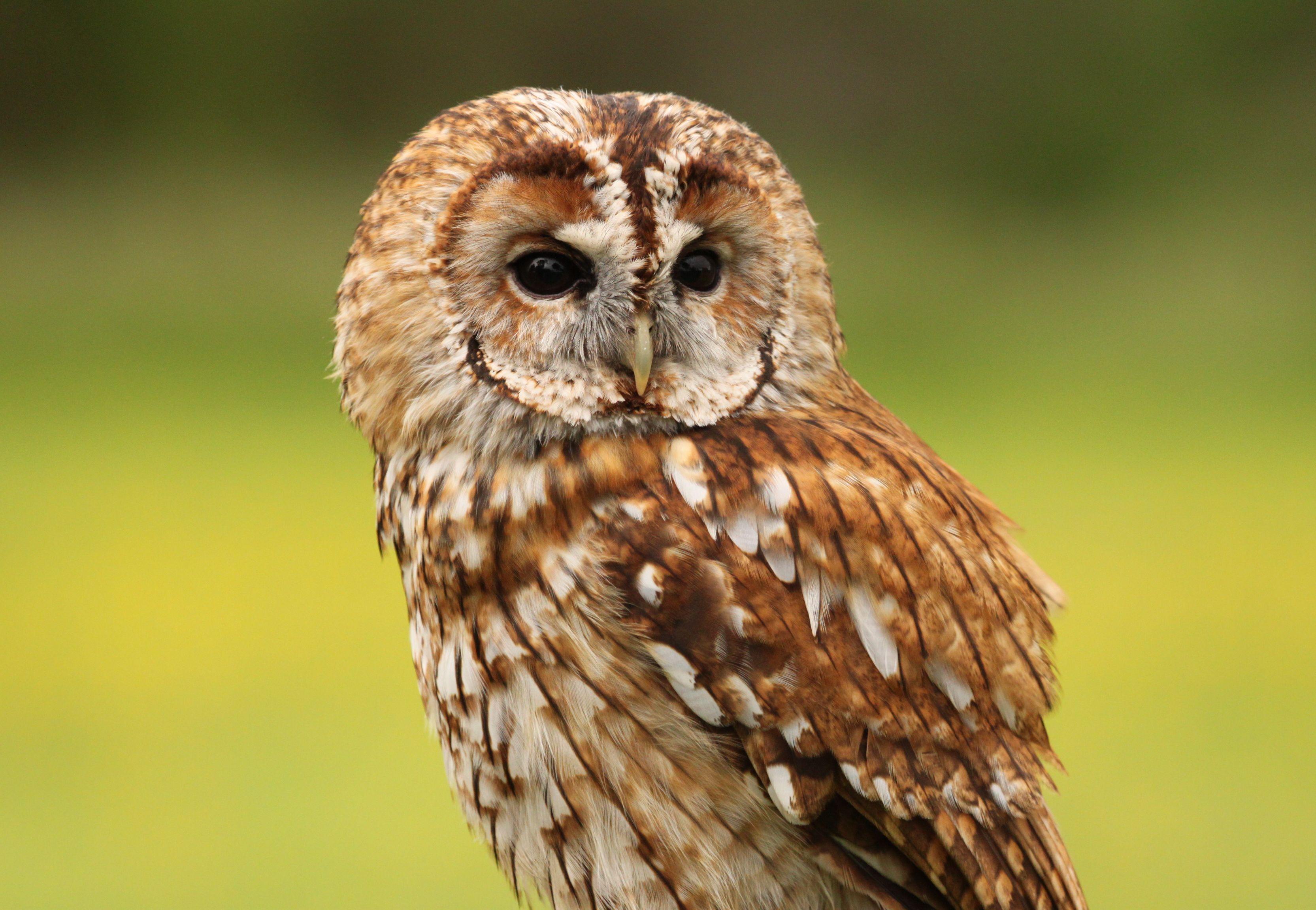Tawny Owl Hd Wallpaper