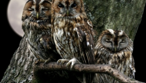 Tawny Owl High Definition
