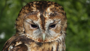 Tawny Owl High Quality Wallpapers