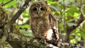 Tawny Owl Photos