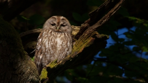 Tawny Owl Wallpapers Hd