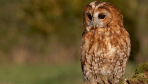Tawny Owl For Desktop