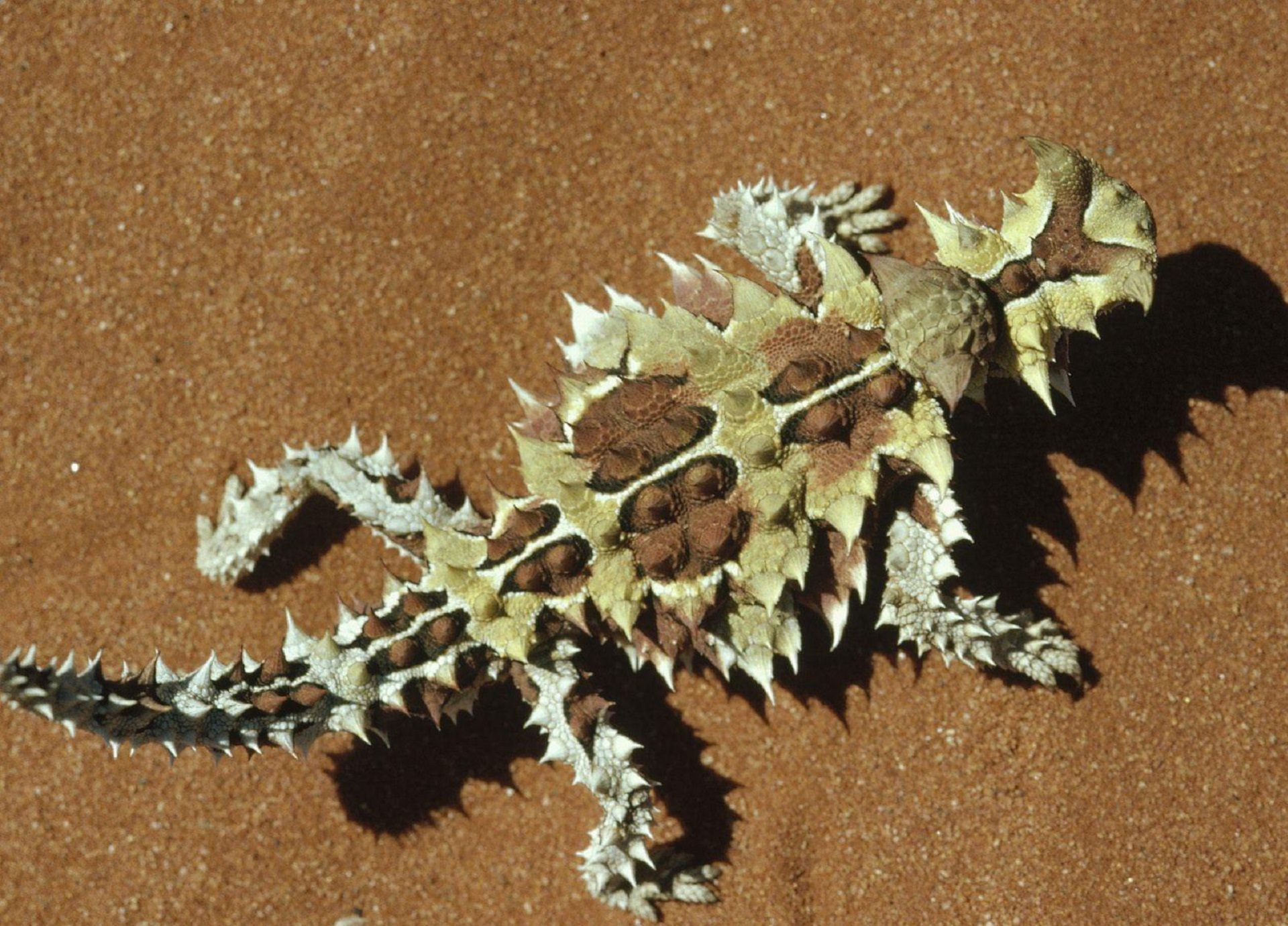 Thorny Devil Computer Backgrounds