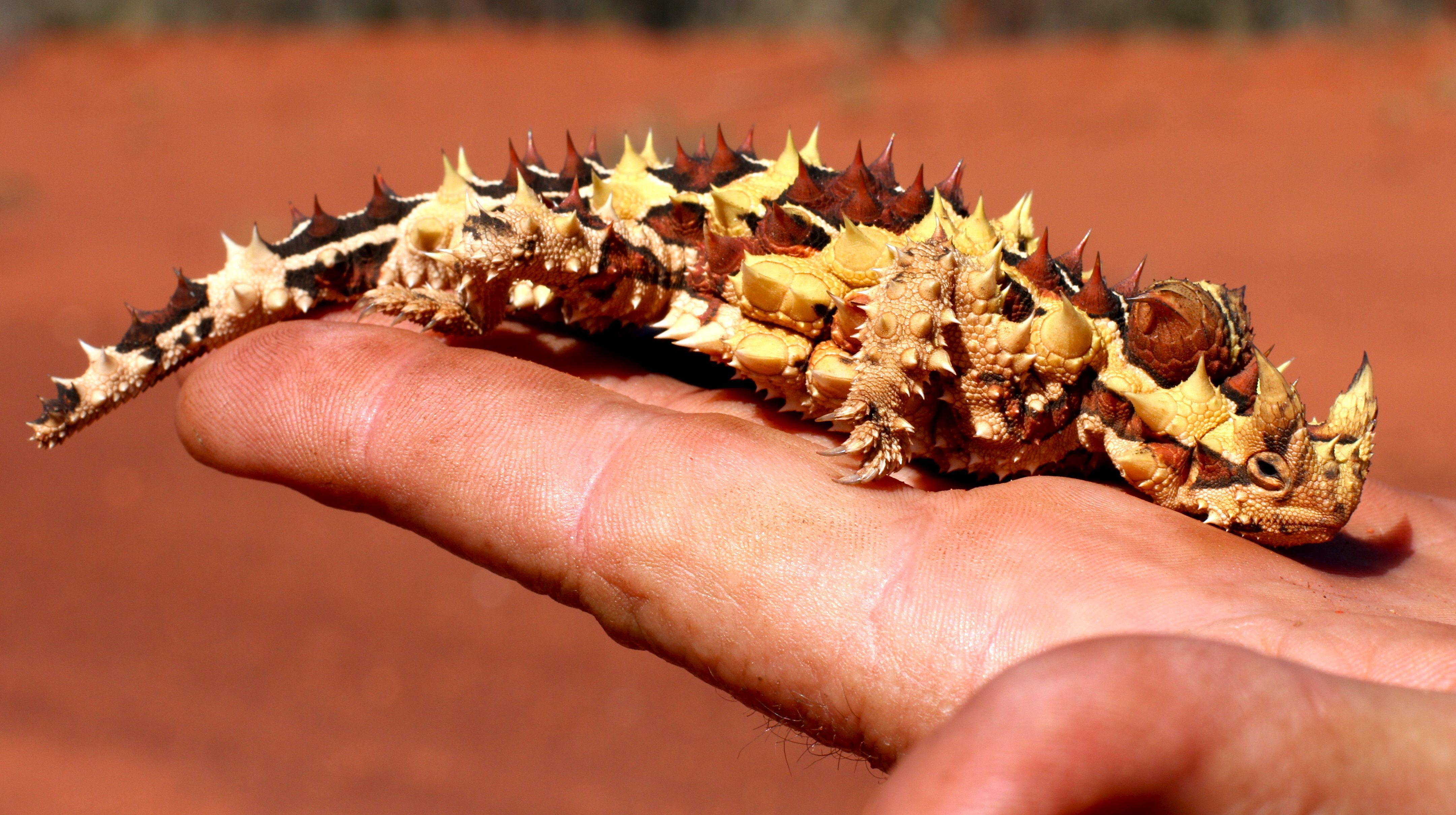 Thorny Devil High Definition Wallpapers