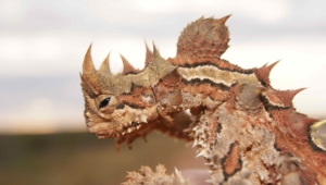 Thorny Devil Wallpaper