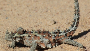 Thorny Devil Wallpaper For Computer
