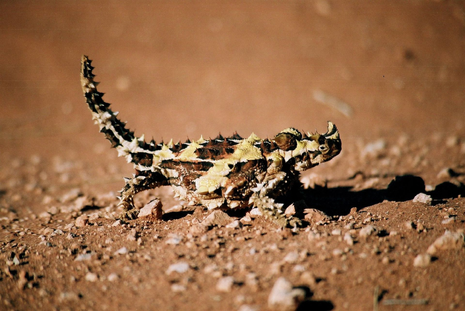 Thorny Devil Wallpapers And Backgrounds