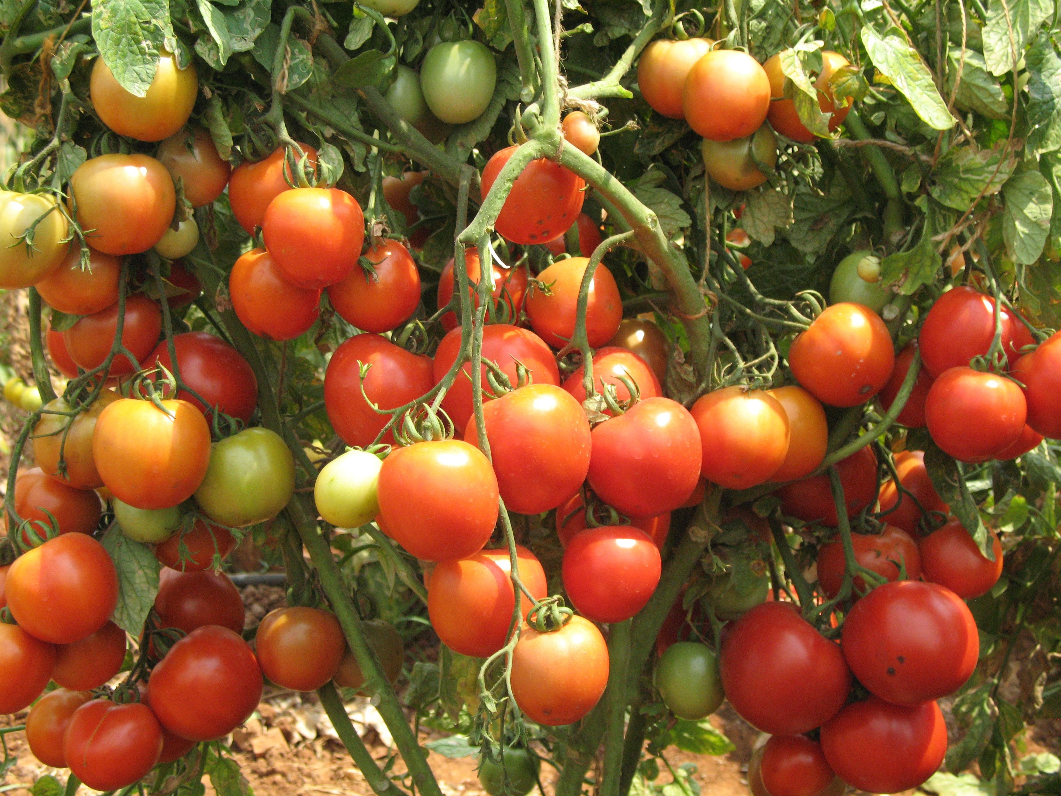 Tomato Photos