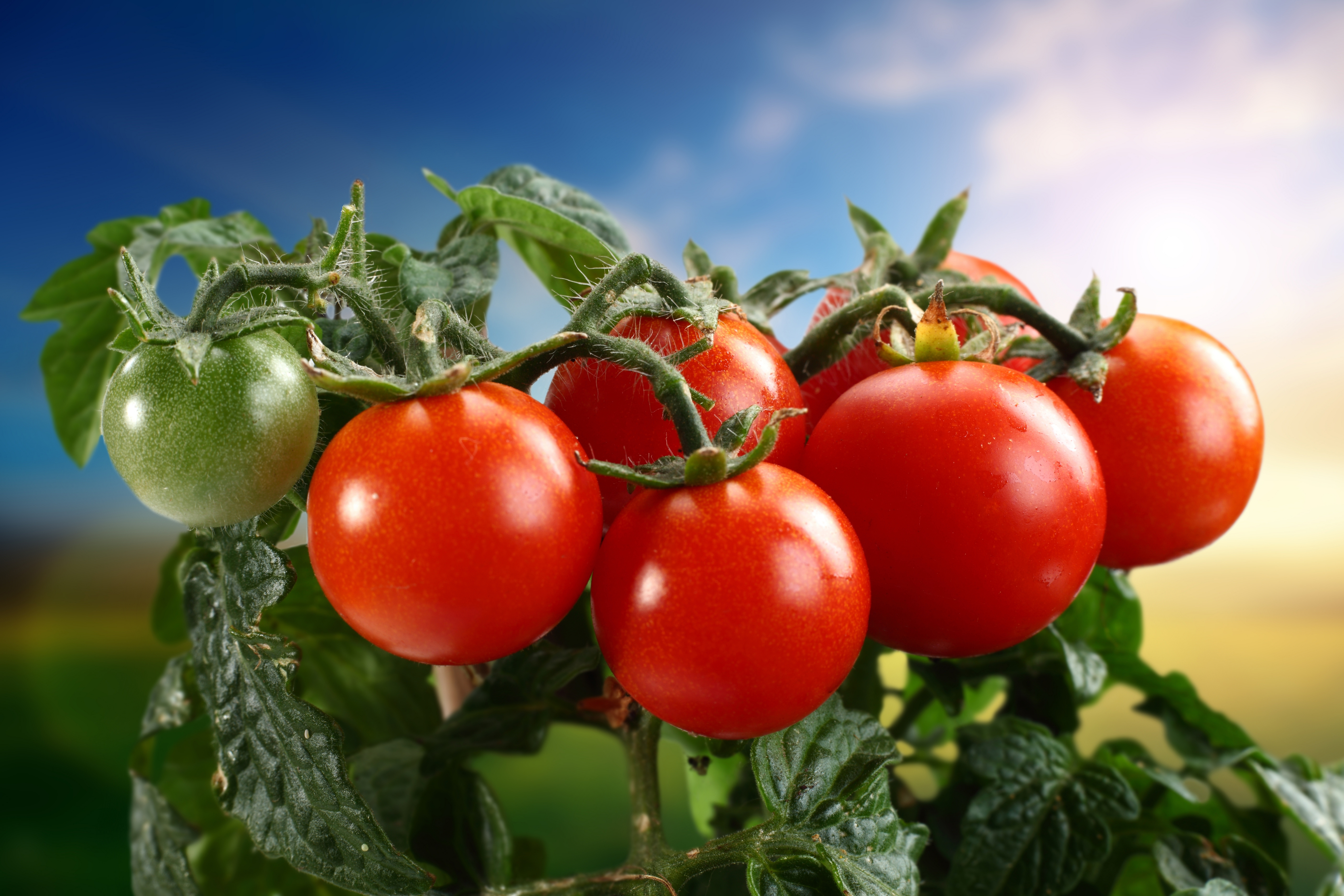 Tomato Wallpapers Hd