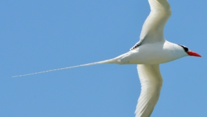 Tropicbird High Definition