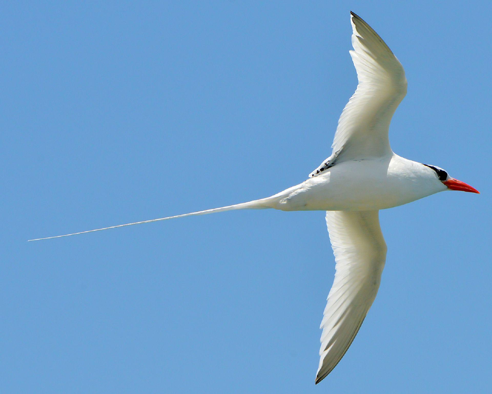 Tropicbird High Definition