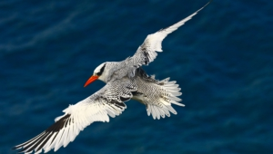 Tropicbird Pictures
