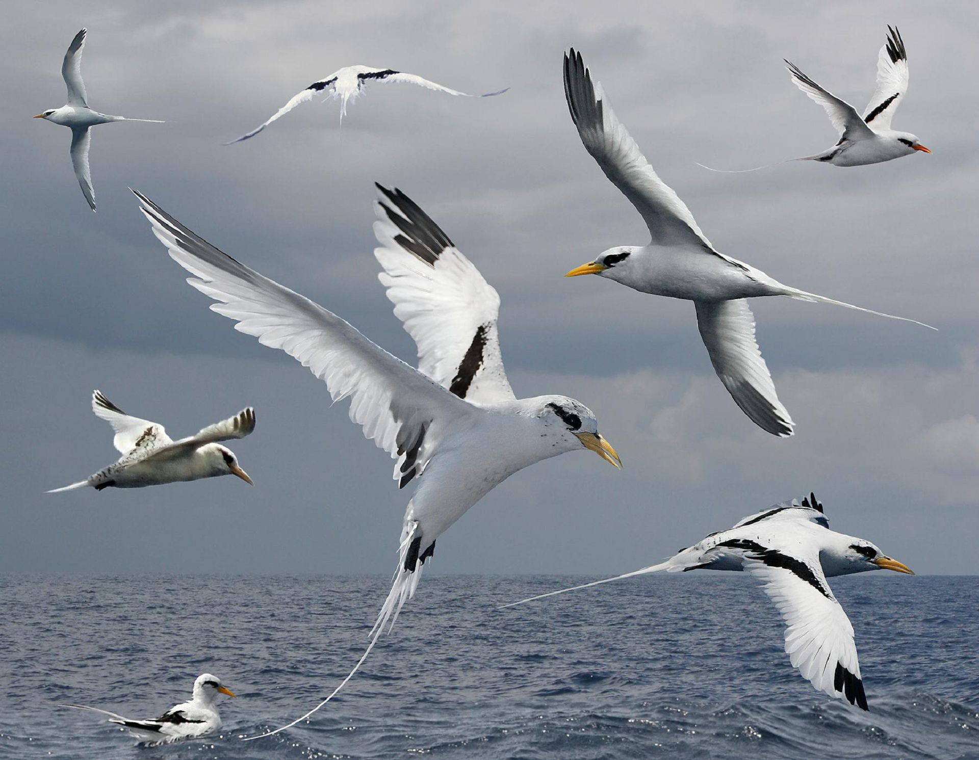 Tropicbird Wallpapers And Backgrounds
