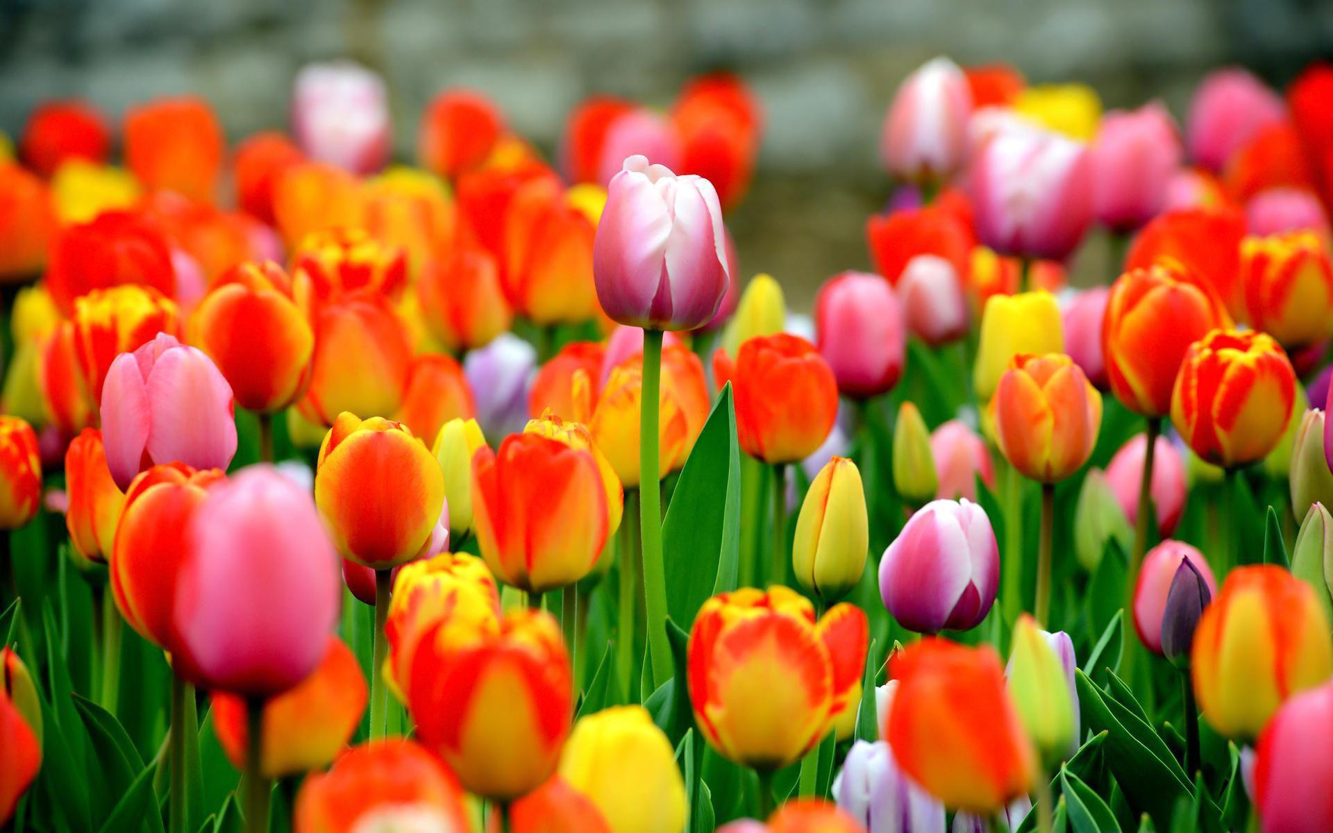 Tulips Computer Backgrounds